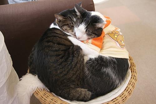 猫カフェ「あまえんぼう」のネコたち4