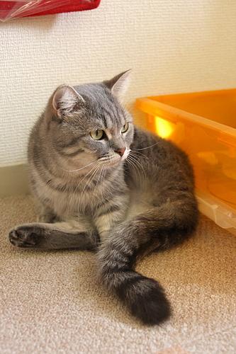 猫カフェ「あまえんぼう」のネコたち7