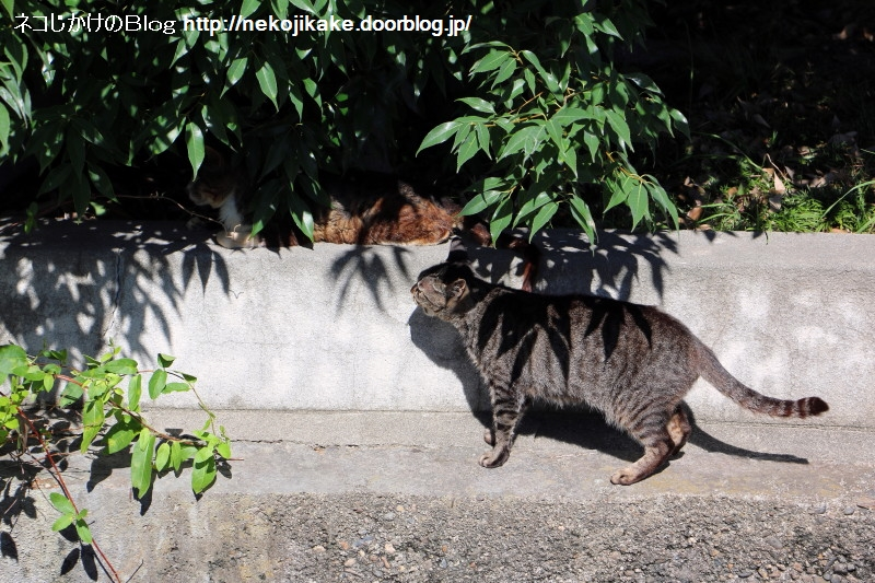 2015072004キジトラはココにいる。2