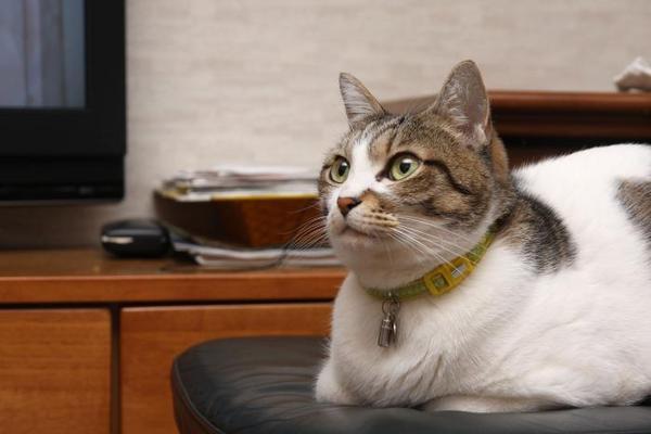 ネコの気象予報士。シマ2