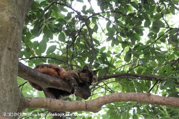 2014070202樹上のネコ。