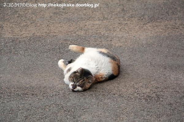 2016031504寝転ぶ猫。3