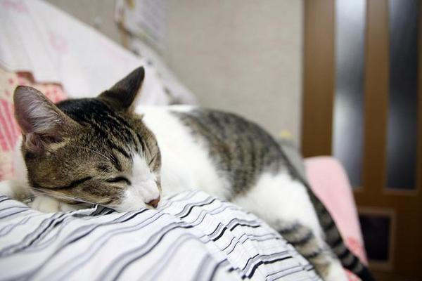 猫猫猫猫。シマ4