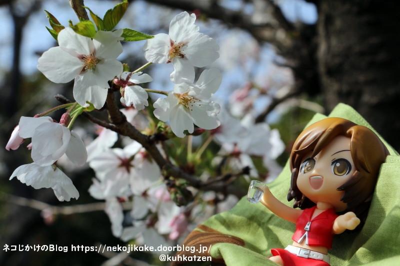 2021032910桜が綺麗ですね。