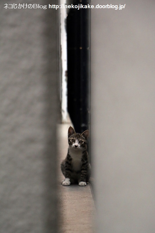 2017081807隙間からネコ。2