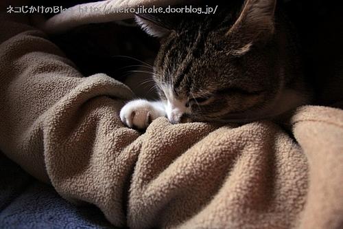 腕枕で肉球吸いをするシマ。