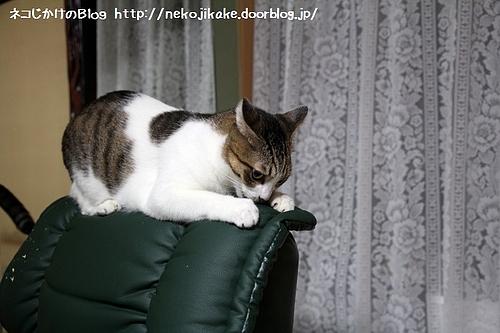 椅子の背もたれをガリガリ。