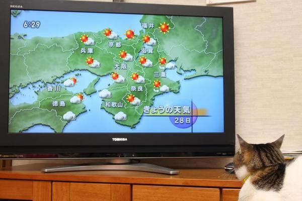 ネコの気象予報士。シマ1