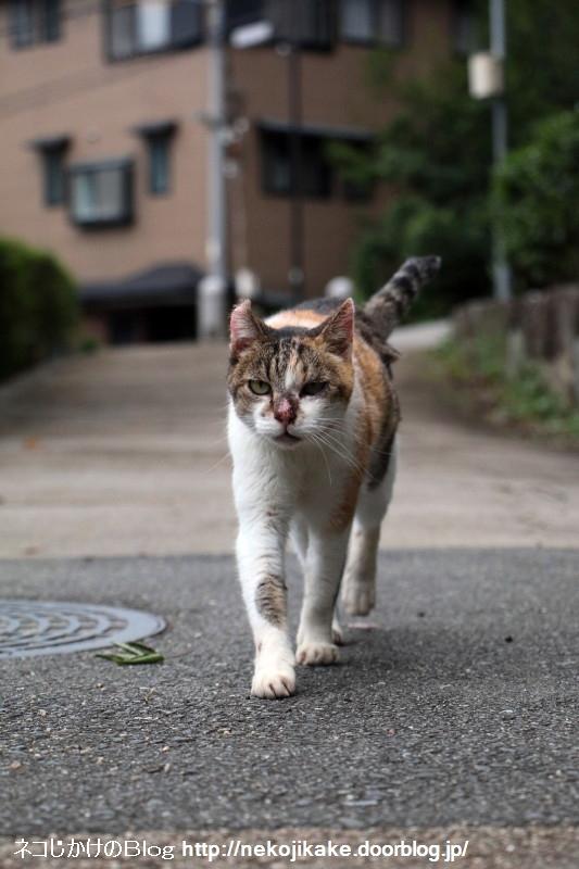 2015082609歩くネコ。3