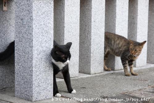 新参者。 白黒ネコ キジトラ