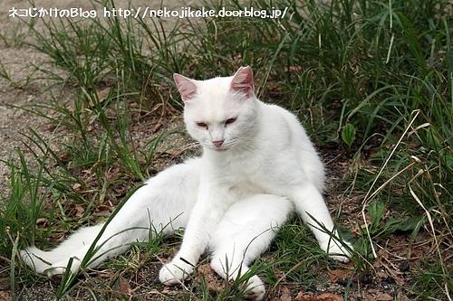 渋い白猫さん。