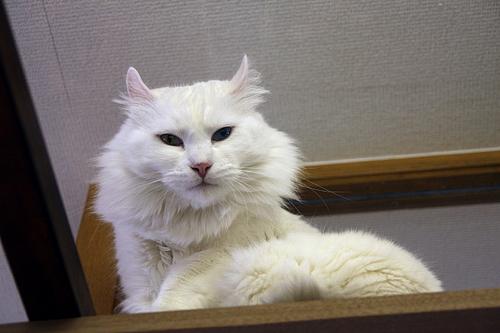 猫カフェ「あまえんぼう」のネコたち3
