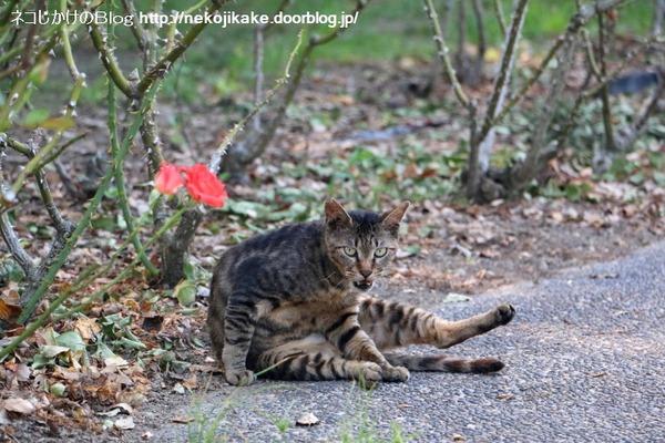 2016073004薔薇と猫。1