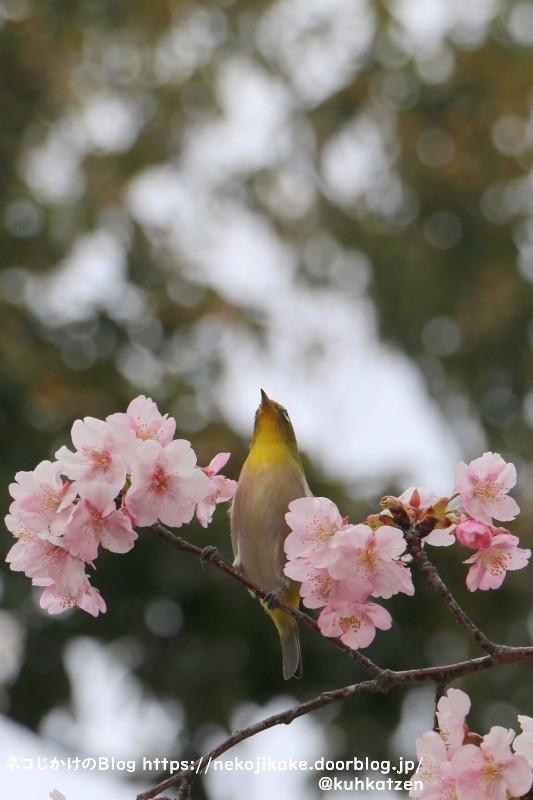 2021022804鳥たちも大好きな桜の花。1