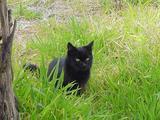 黒ネコをよく見かけたので、今日は黒ネコの日。