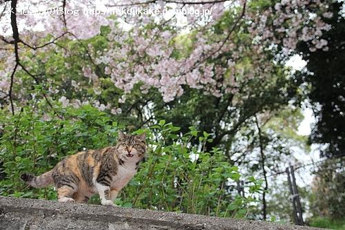 桜の季節ももうすぐ終わり。