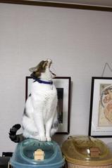 ネコの遠吠え?シマ1