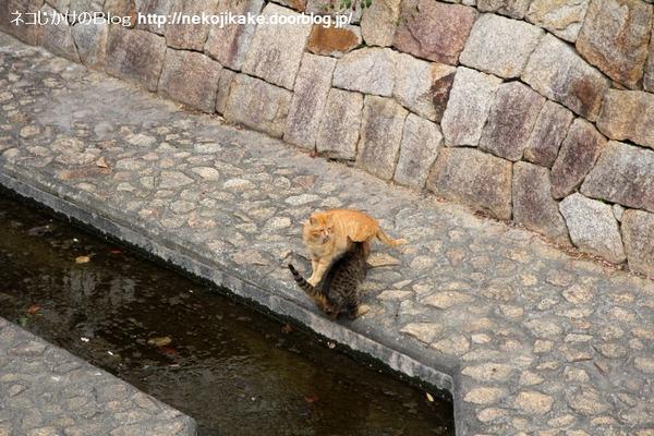 2014021304川を越えるネコ3。