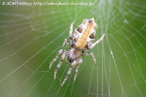 キジロゴミグモ(多分)。