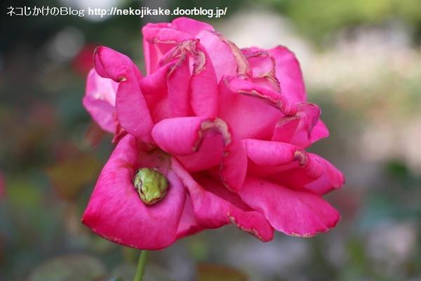 2016102003バラの花。1