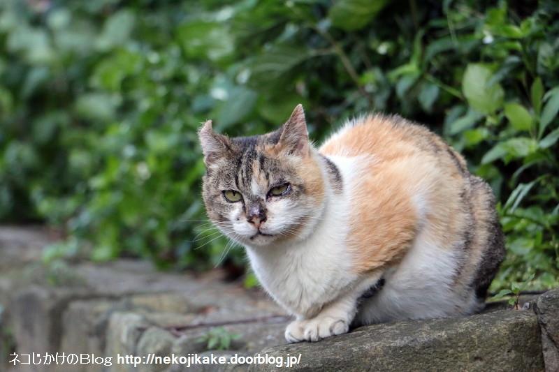2015060605今日の三毛猫。3