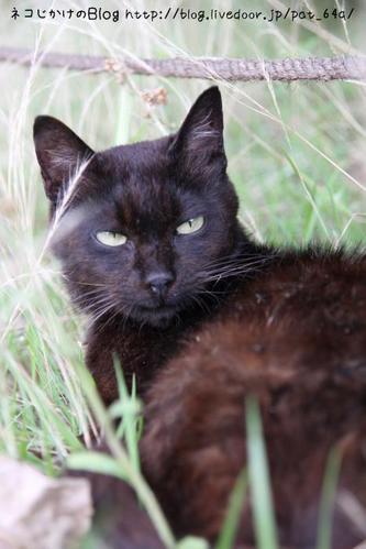 草むらのネコたち。その1 黒ネコ
