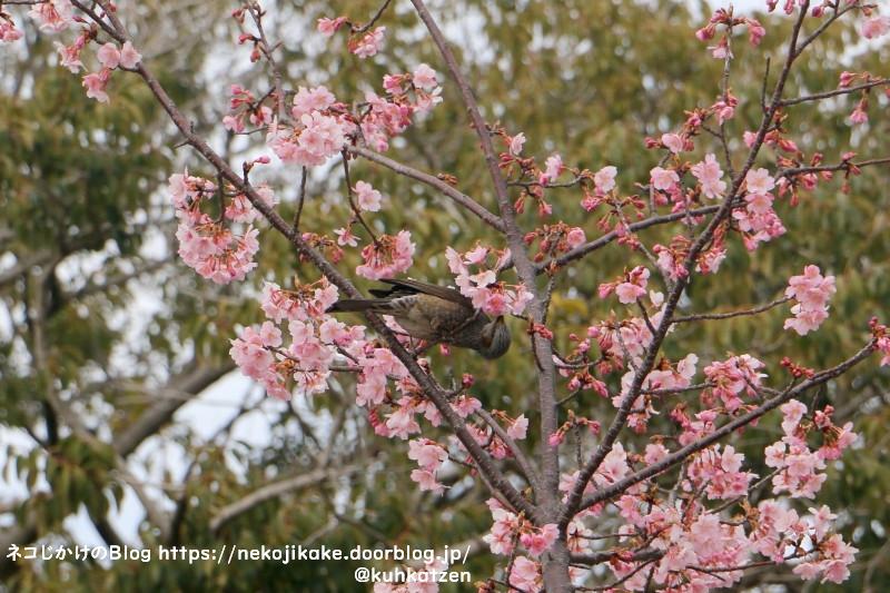 2021022806鳥たちも大好きな桜の花。3