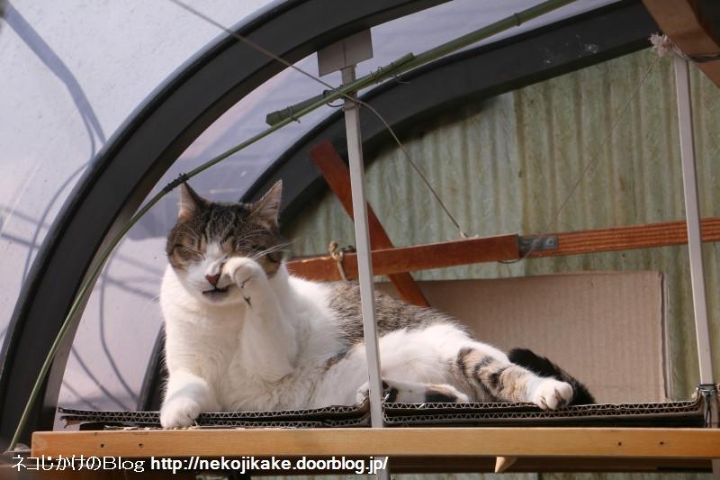 2017033002猫が顔を洗うと雨が降る。