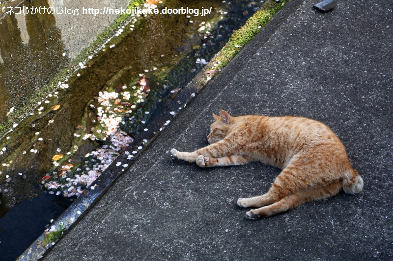 2017041603桜が散ってネコは寝る。