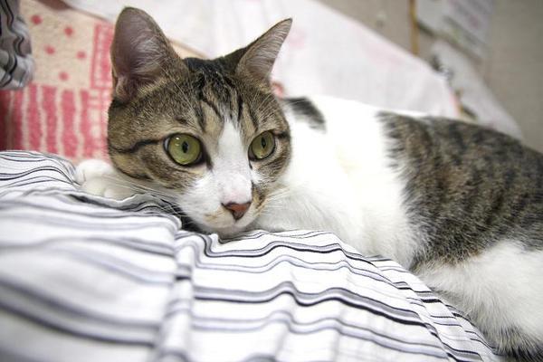 猫猫猫猫。シマ3