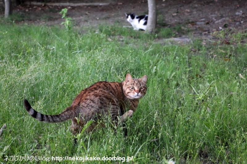 2016060214草原の猫。