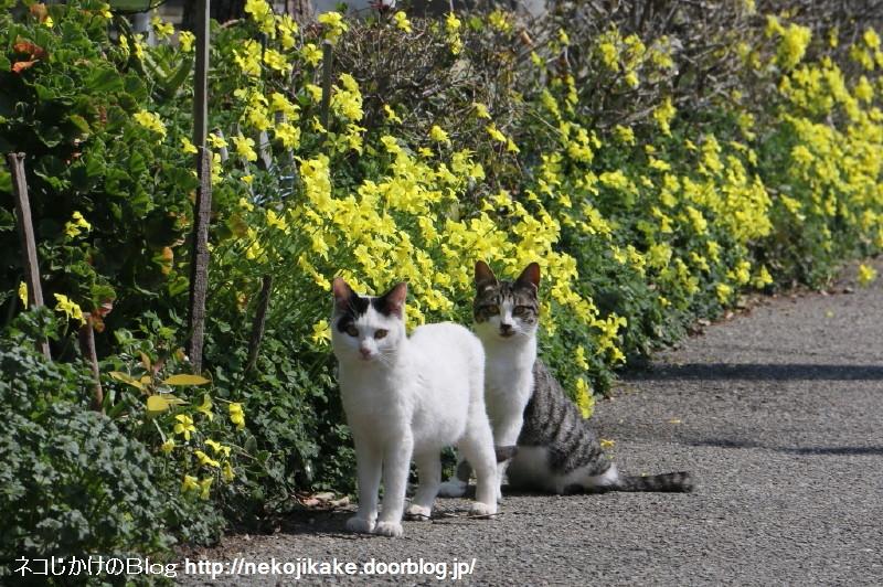 2019031502黄色い花と猫。