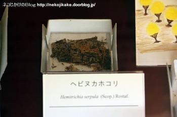 2018102112きのこ!キノコ!木の子!@大阪市立自然史博物館。8