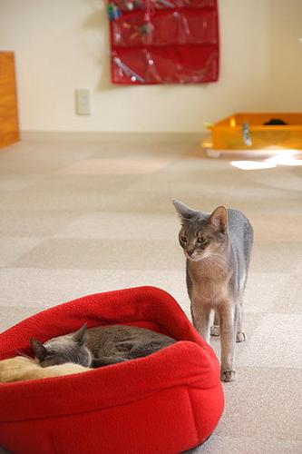 猫カフェ「あまえんぼう」のネコたち6