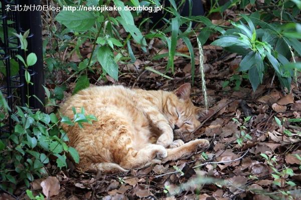 2016060909寝転んでナンボの猫の世界。1