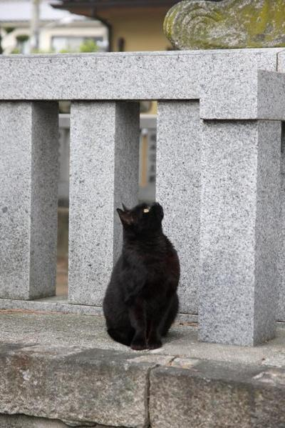 黒猫の凝視。 くーちゃん
