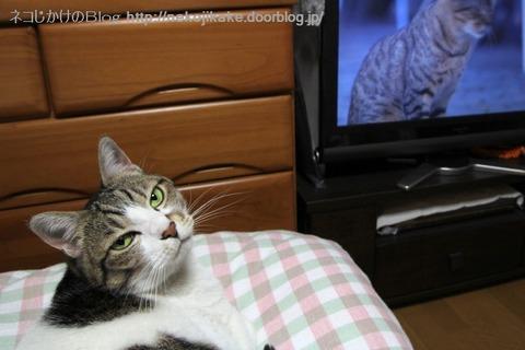 2013051901猫のテレビ番組。