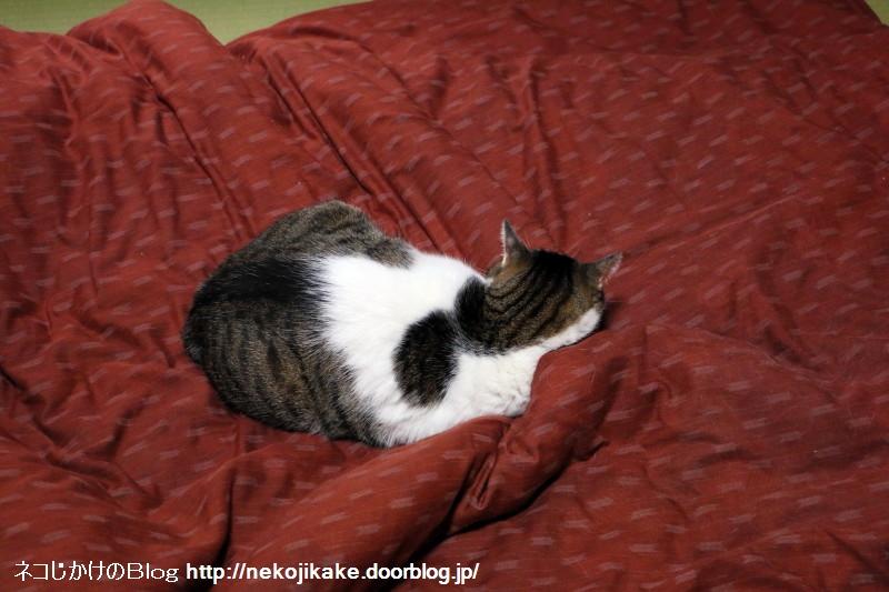 2016102201布団の魔力から抜け出せない猫を見た。