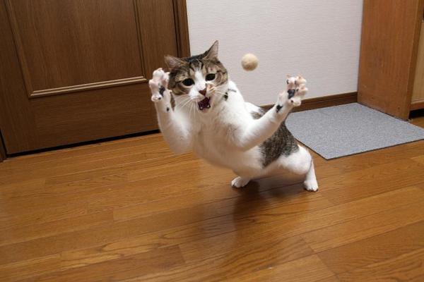 猫猫猫猫。シマ2