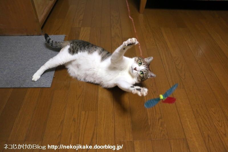 2017092503猫じゃらしで遊ぶよ。1