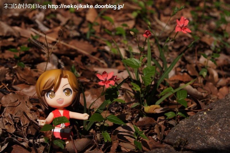 2017051410小さな赤い花。