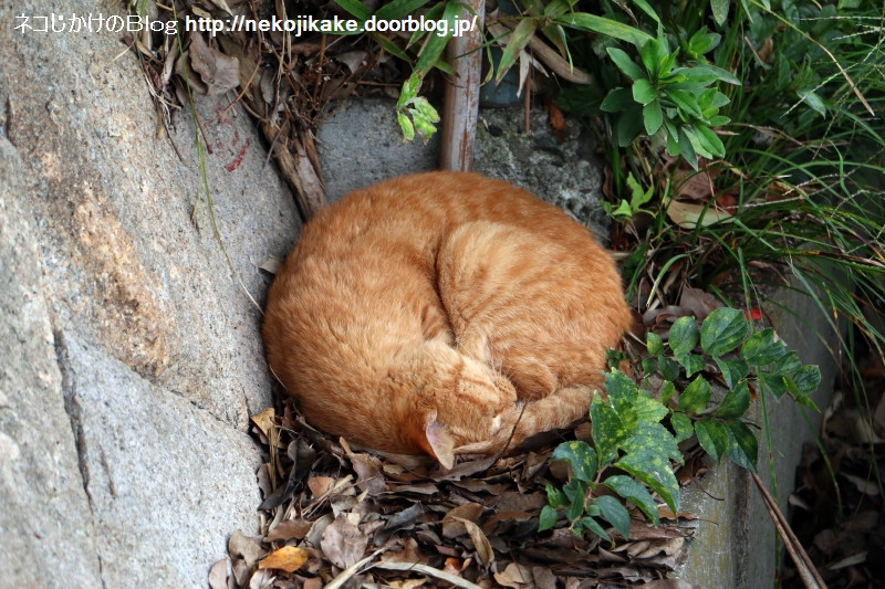 2016102204猫は外でも丸くなる。