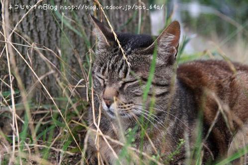 草むらのネコたち。その2 キジトラ