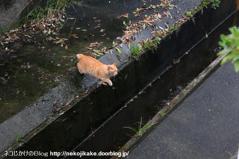2015110901猫が川を越える時。