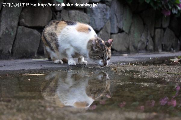 2016062308猫と水たまり。2