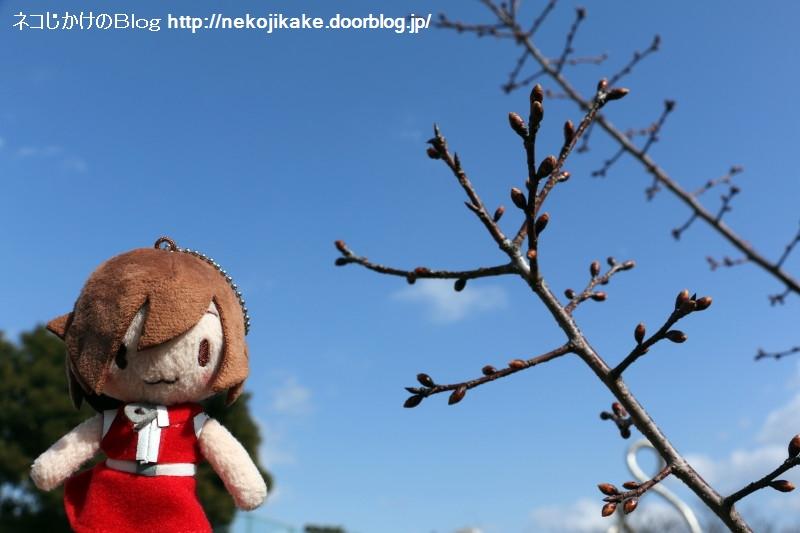 2019021302桜のつぼみが膨らんでる。