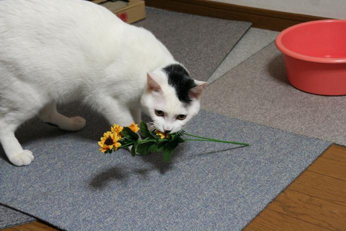 花を召しませ。クロ