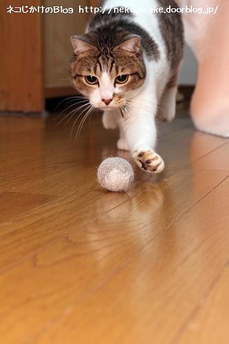 猫毛フェルト(シマとクロの毛)で遊ぶシマ。