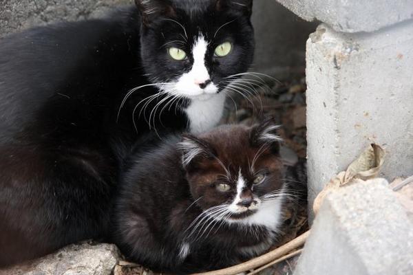 にゃんにゃんにゃん、でネコの日。その5 ハチワレ母ネコ 子ネコ