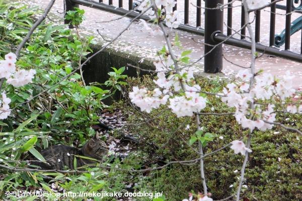 2016040405桜舞い散る。3